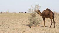 Kamel w%c3%bcste